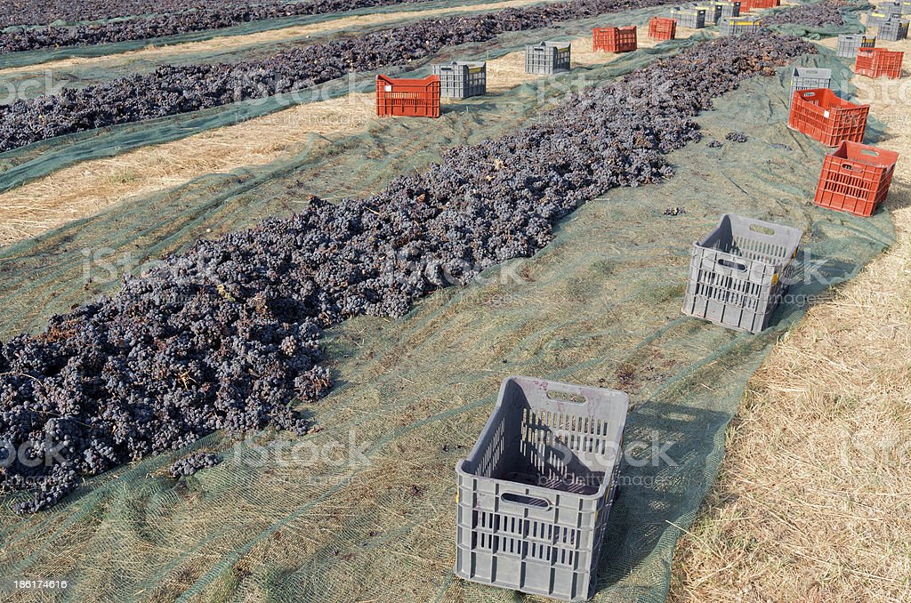 Grapes are drying on the field. royalty-free stock photo