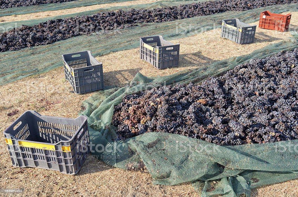 ブドウは乾燥しています。 ロイヤリティフリーストックフォト
