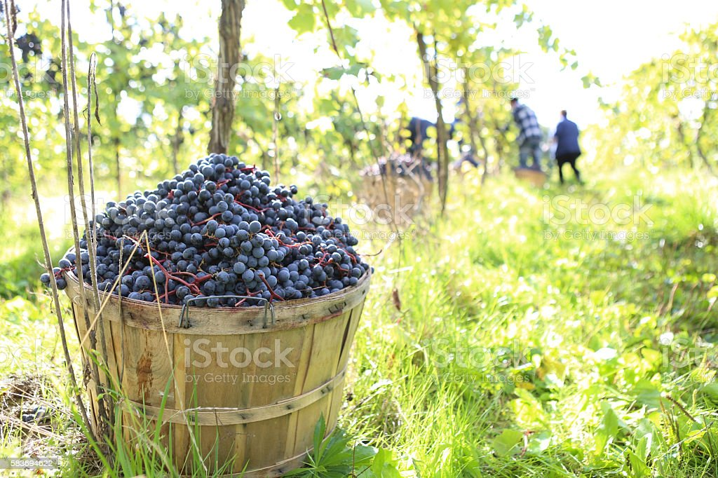 grape's basket stock photo