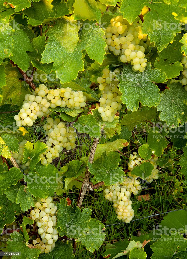 Grapes before harvest stock photo