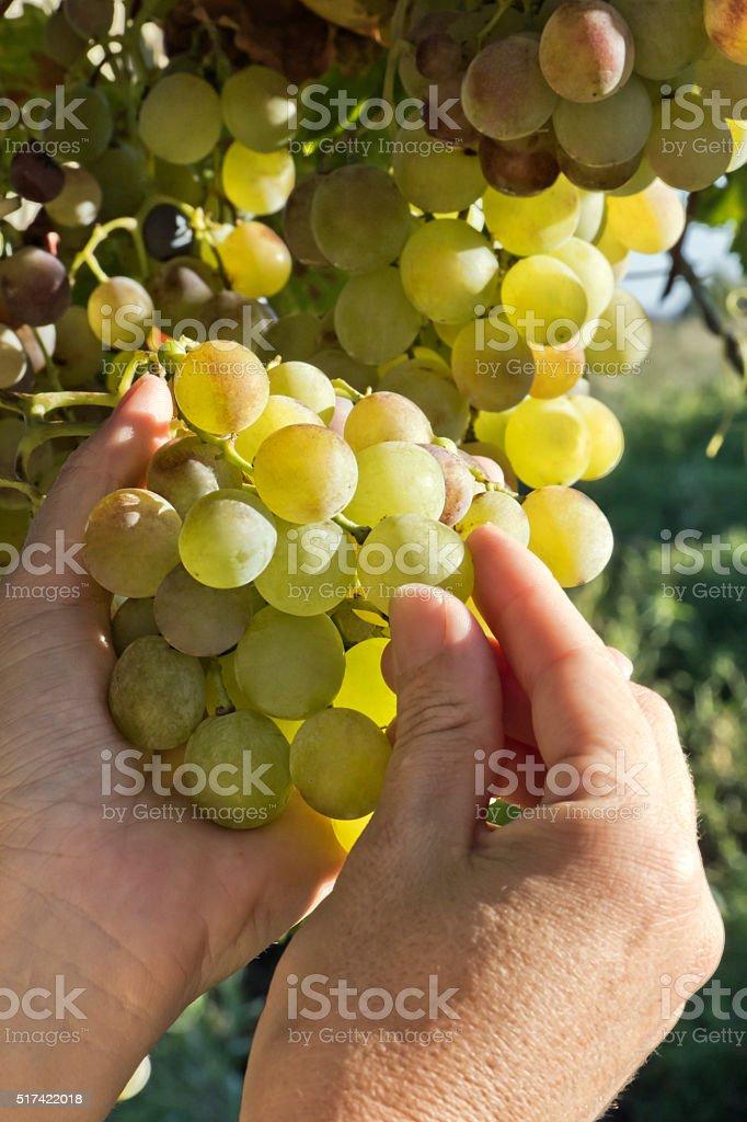 Grapes control stock photo