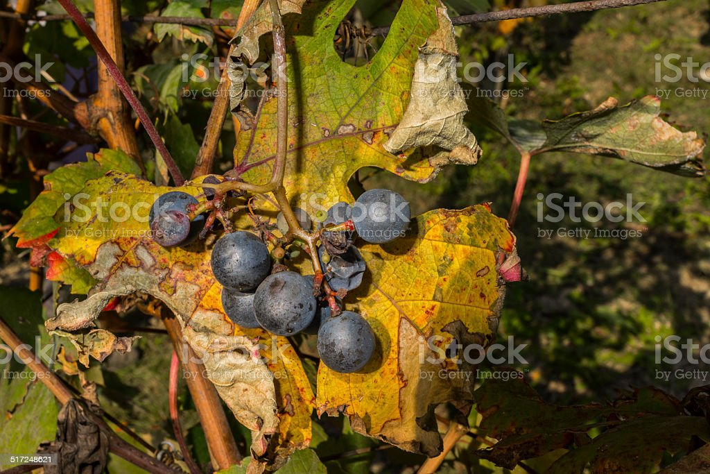 Grapes damaged by hail (Langhe, Unesco World Heritage site) stock photo