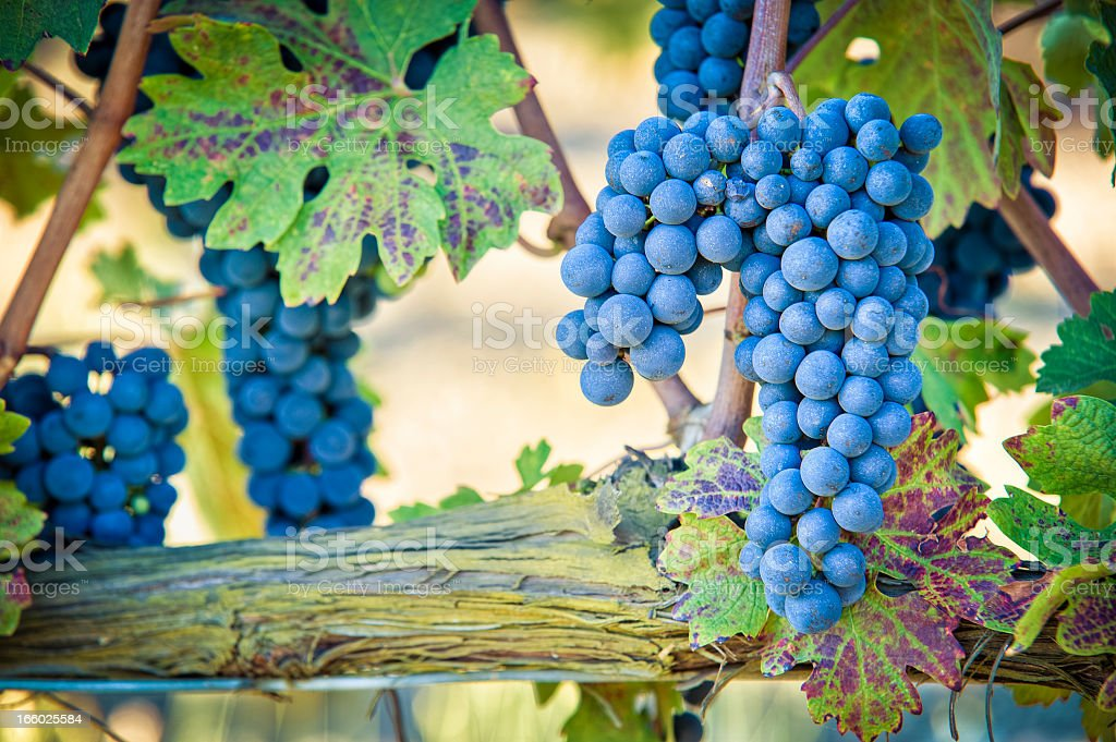 Grapes For Red Wine, Brunello Di Montalcino, Tuscany stock photo