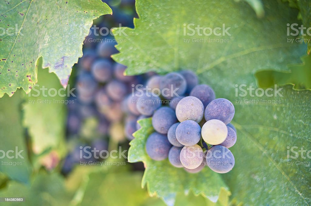Grapes For Red Wine,Tuscany royalty-free stock photo