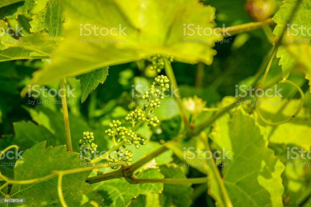Grapes forming stock photo