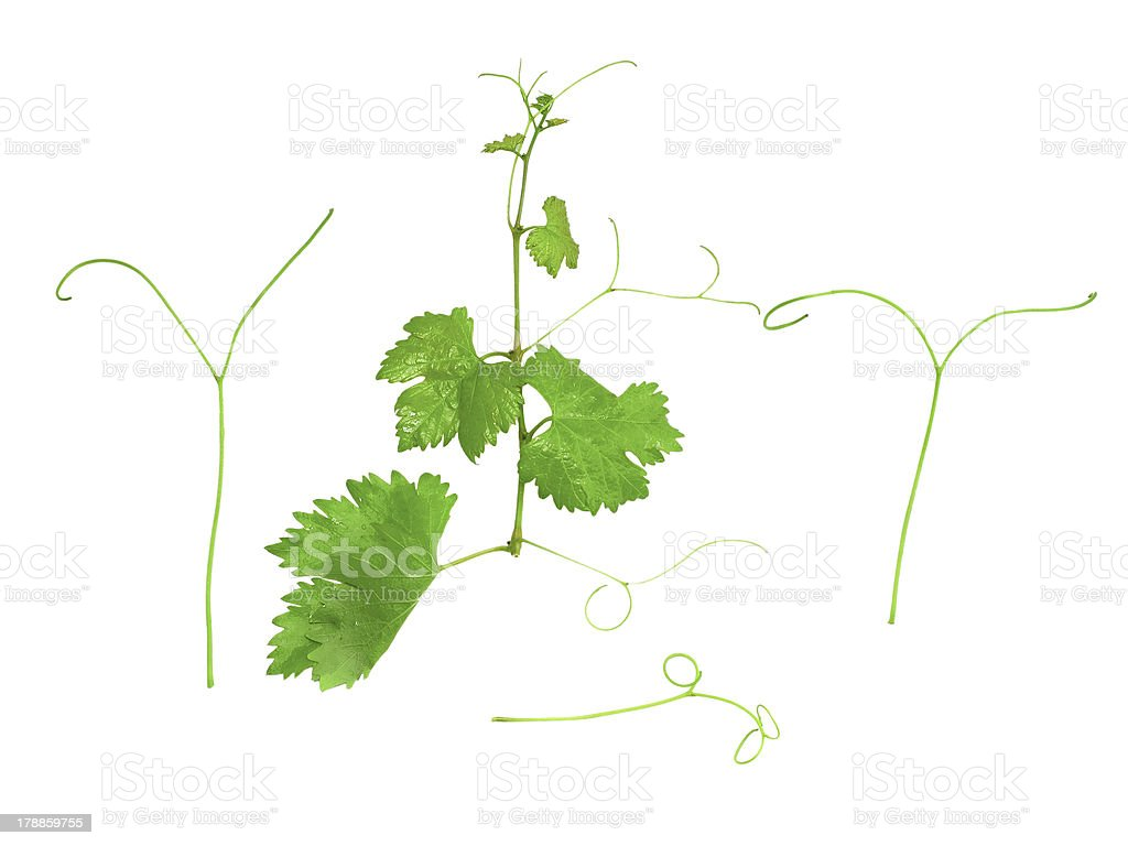 Grapes green leaf with vine tendril. Isoalted royalty-free stock photo