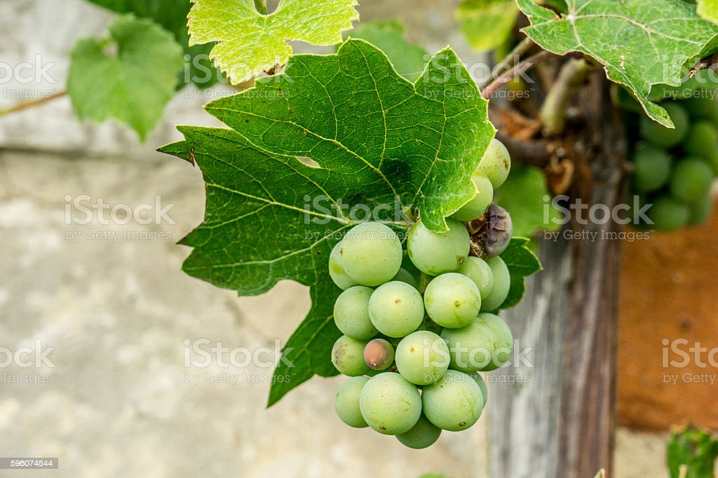 Grapes growing against the wall stock photo