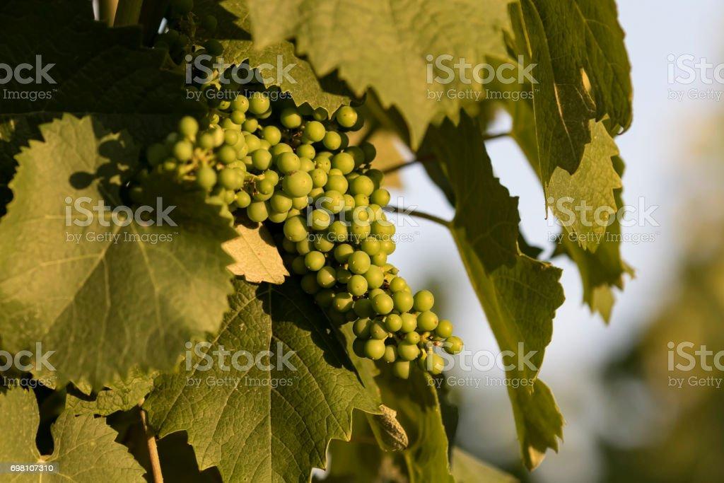Grapes growing at California winery vineyard stock photo
