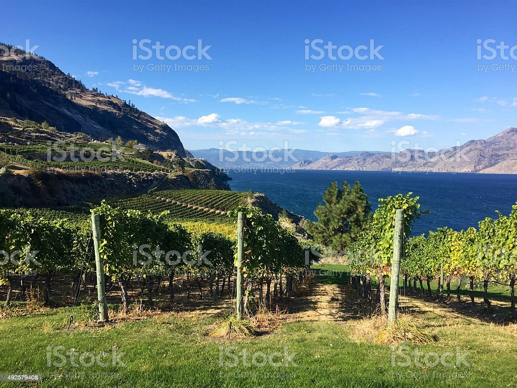 Grapes growing in British Columbia vineyard in autumn, Okanagan Lake stock photo