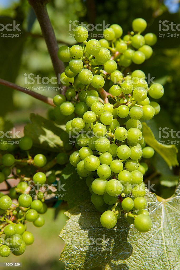 Grapes Growing on the Vine stock photo