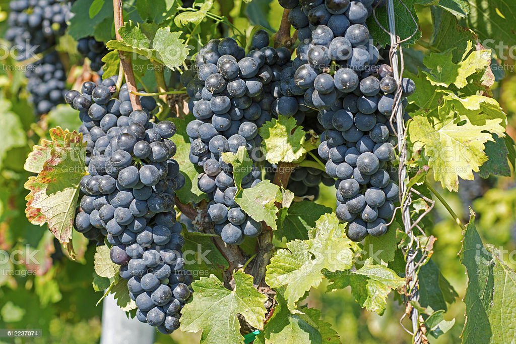 Grapes Hang From a Vine. Organic Grapes in Autumn. stock photo