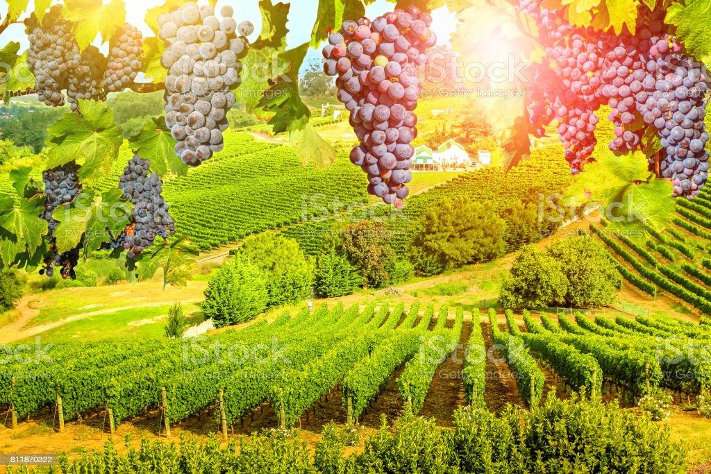 Grapes hanging in vineyard stock photo