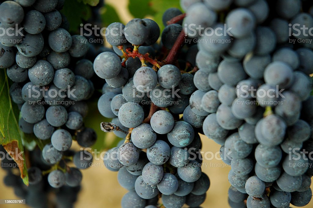 Grapes hanging on vines in s vineyard stock photo