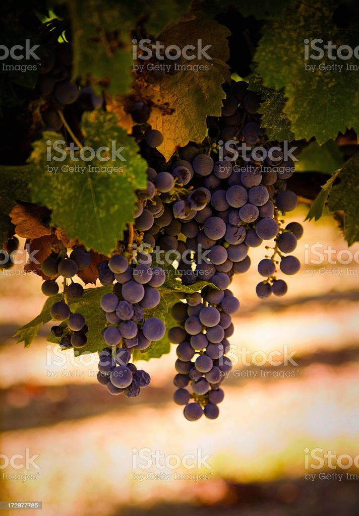 grapes hanging stock photo