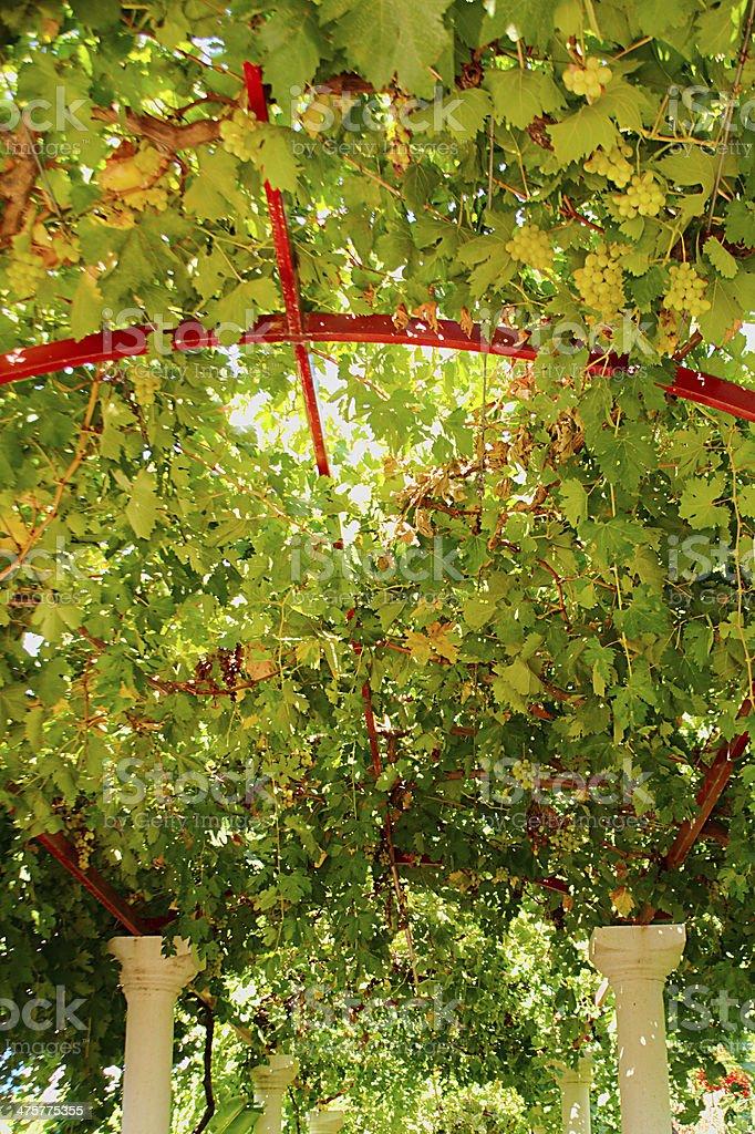 Grapes hanging royalty-free stock photo