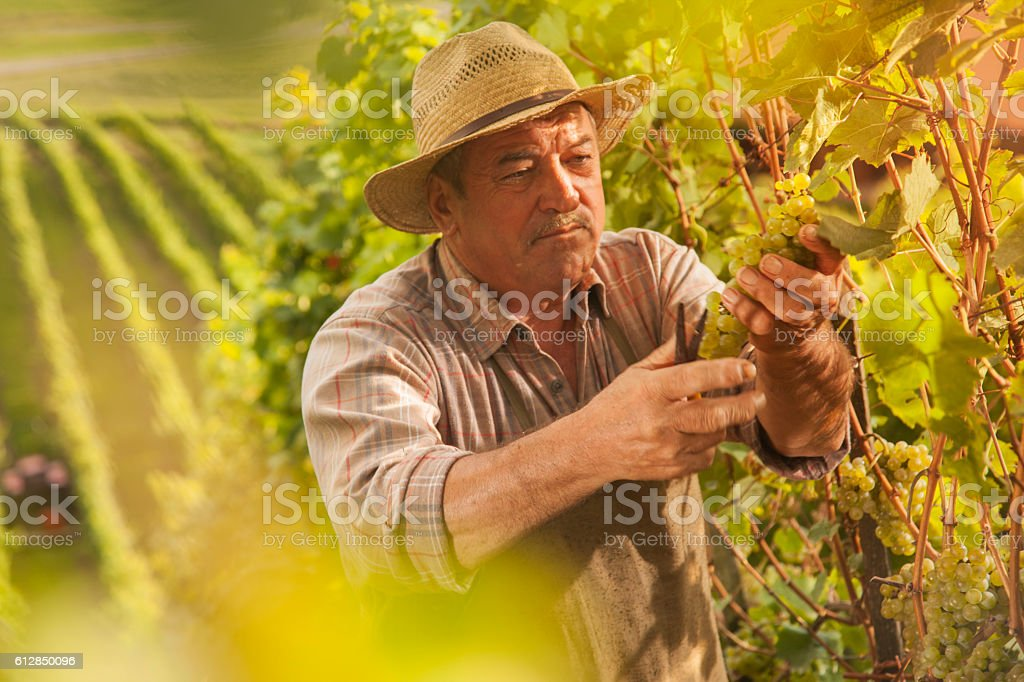 Grapes Harvest - senior farmer stock photo