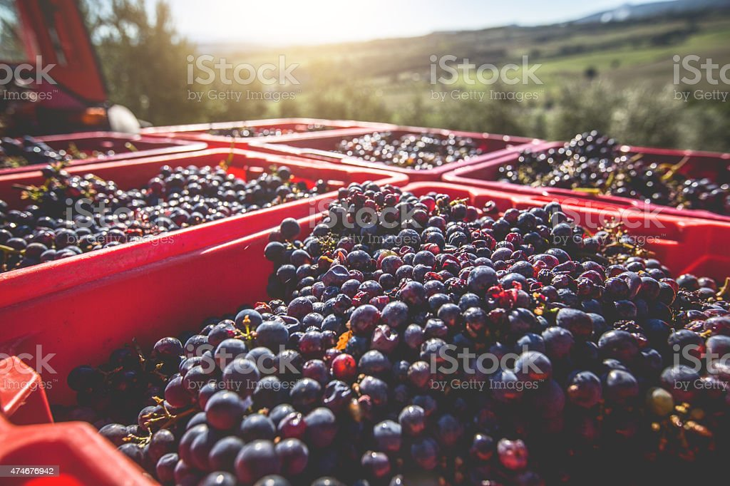 Grapes Harvesting and Picking Up stock photo