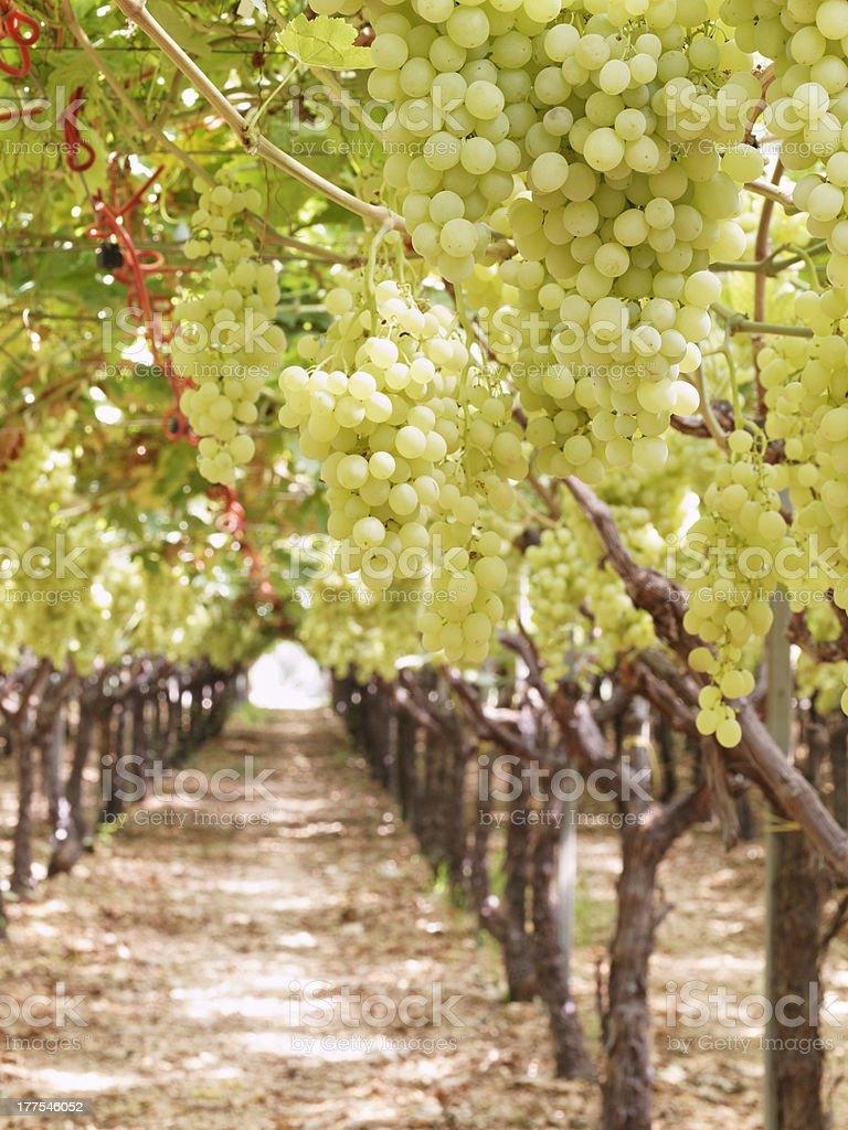 grapes harvesting organic farm cutting Sugraone seedless Superior Puglia Italy royalty-free stock photo
