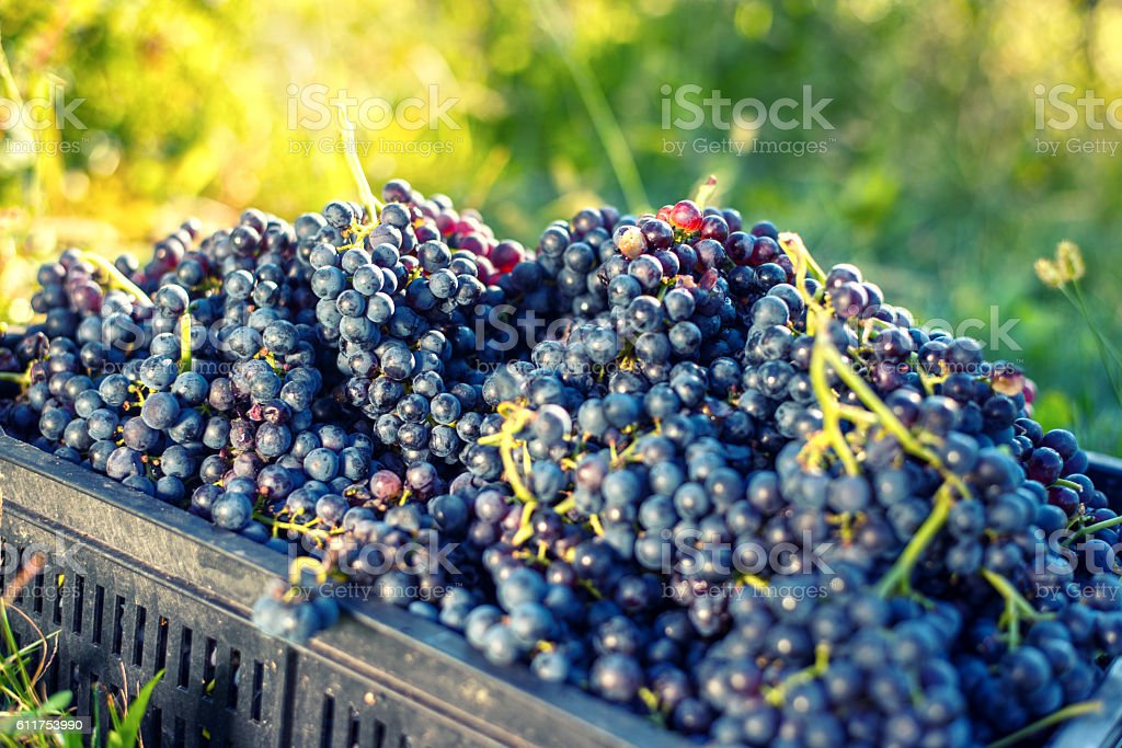 Grapes Harvesting stock photo