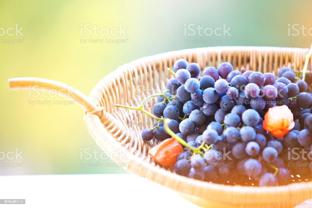 grapes in a basket, vineyard concept stock photo