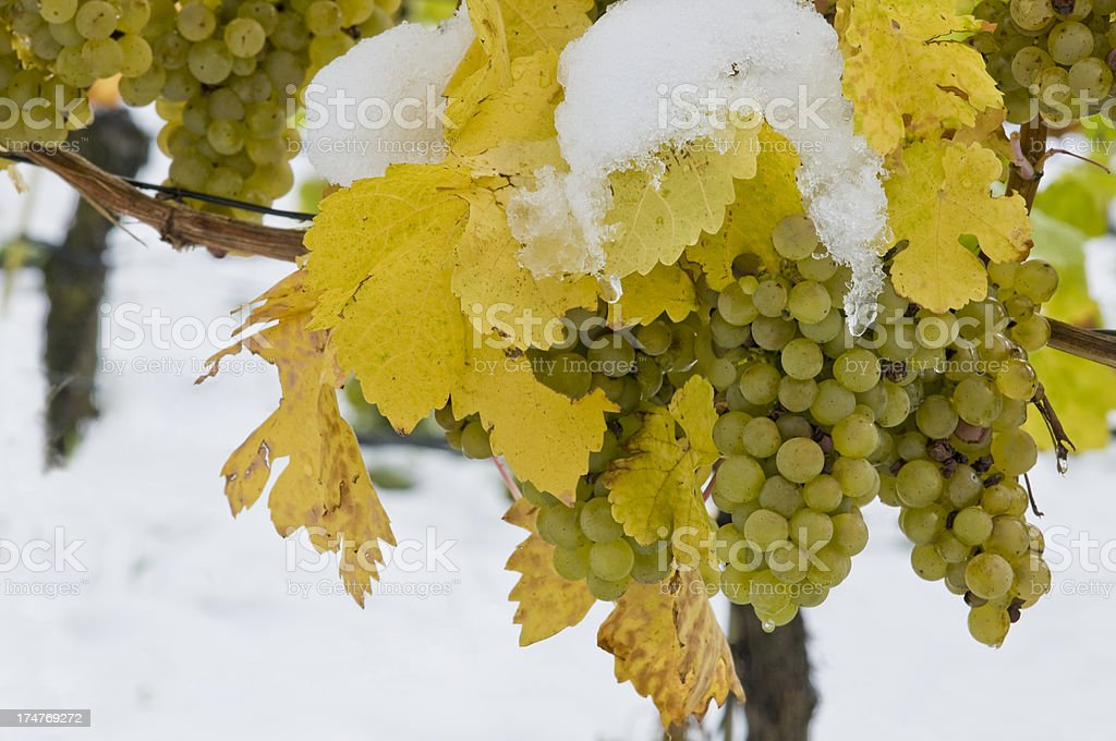 Grapes in a vineyard covered in snow stock photo