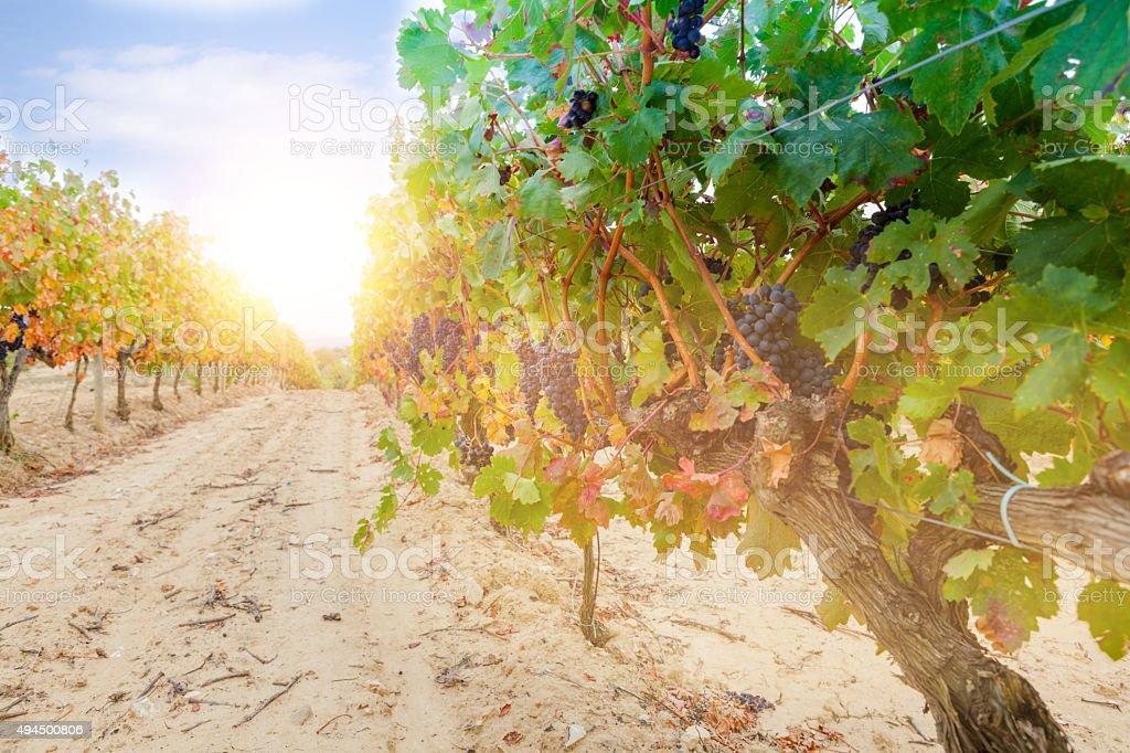 Grapes in a vineyard, La Rioja stock photo
