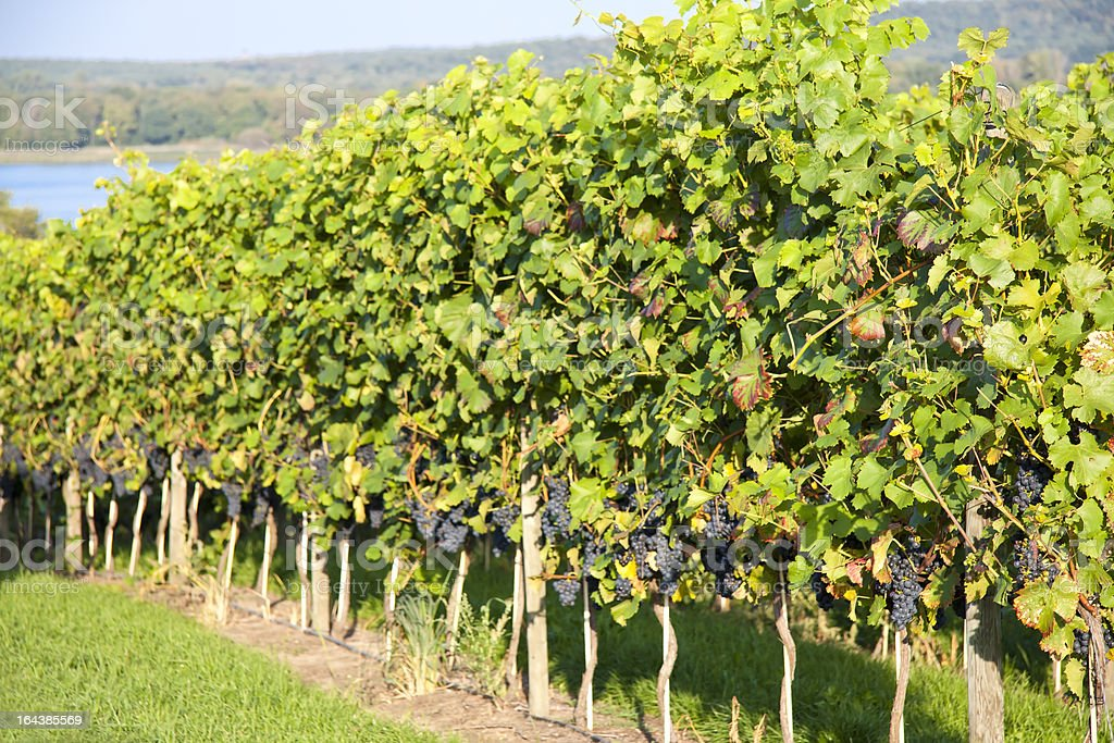 Grapes in a vineyard on the afternoon stock photo
