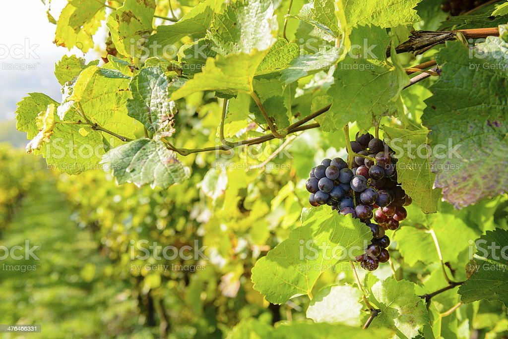 Grapes in a vineyard royalty-free stock photo