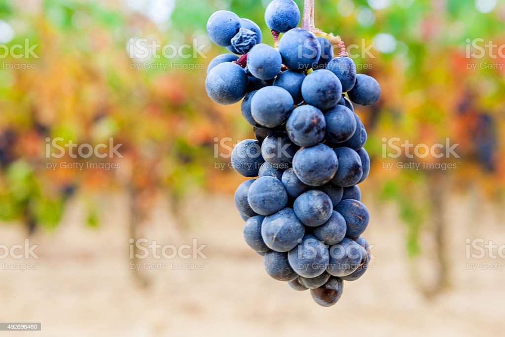 Grapes in a vineyard stock photo