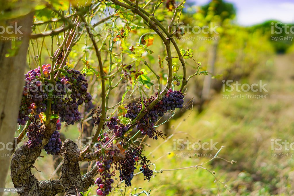 Grapes in an Abandoned Vineyard stock photo