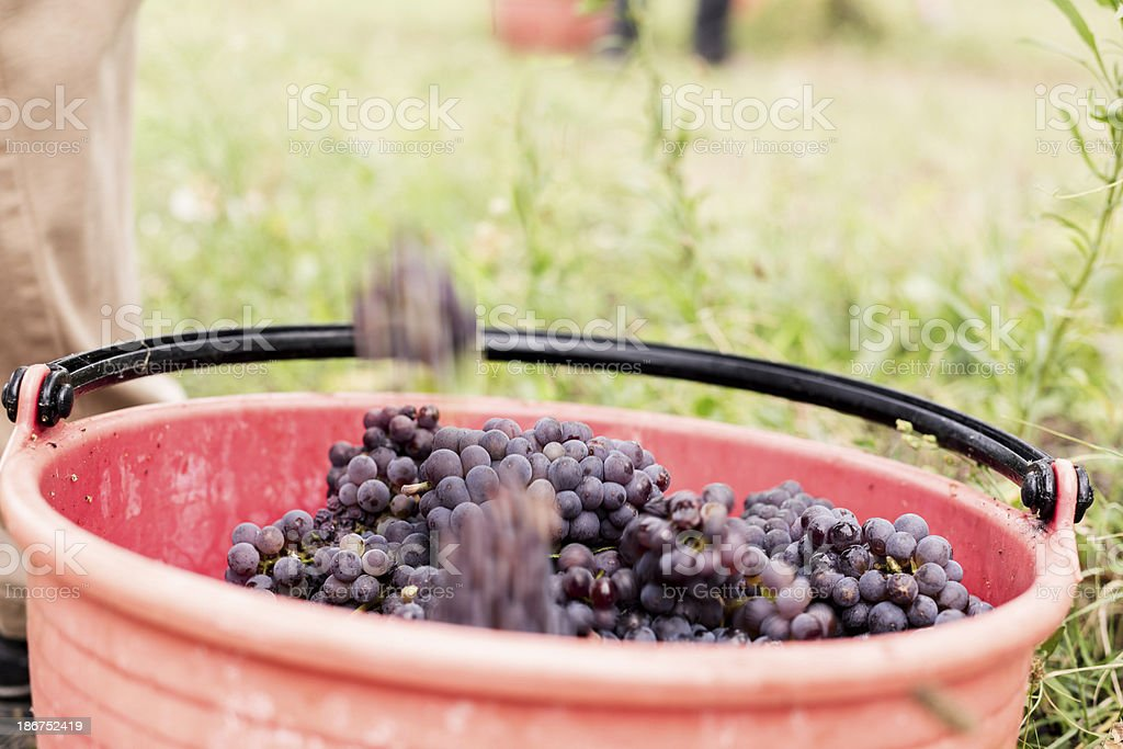 Grapes in bucket royalty-free stock photo
