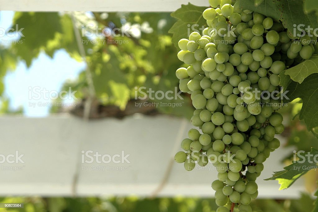 grapes in focus on vine royalty-free stock photo