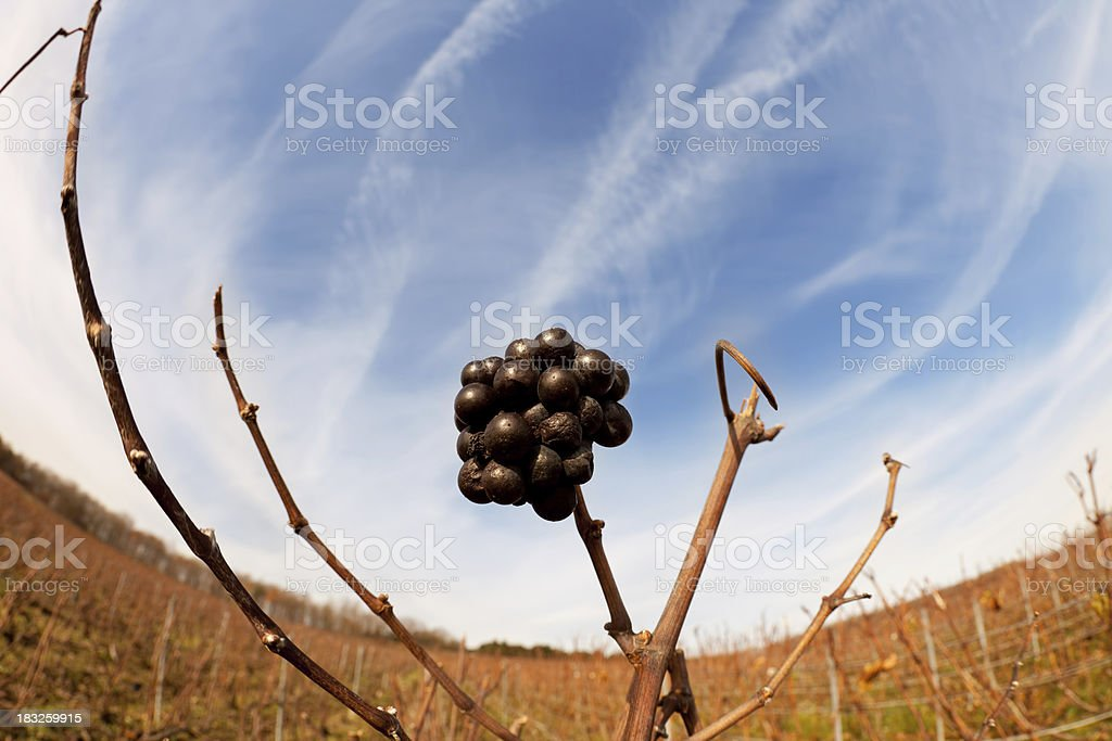 Grapes in French field champagne region fisheye view stock photo