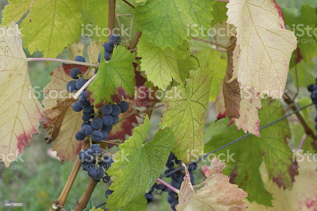 Grapes in Italy stock photo