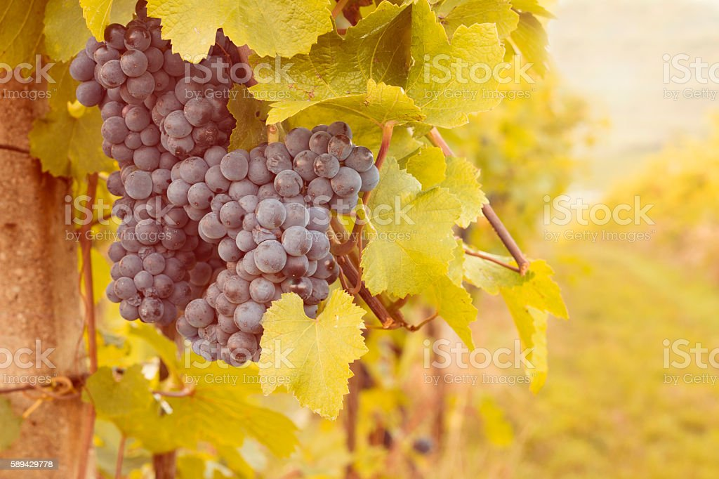 grapes in sunset vineyard stock photo
