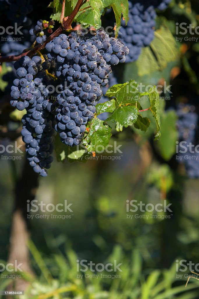 Grapes in the vine royalty-free stock photo