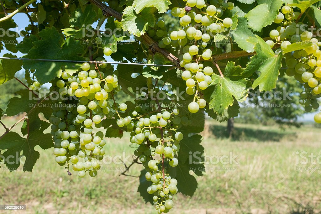 Grapes in Vinevard stock photo