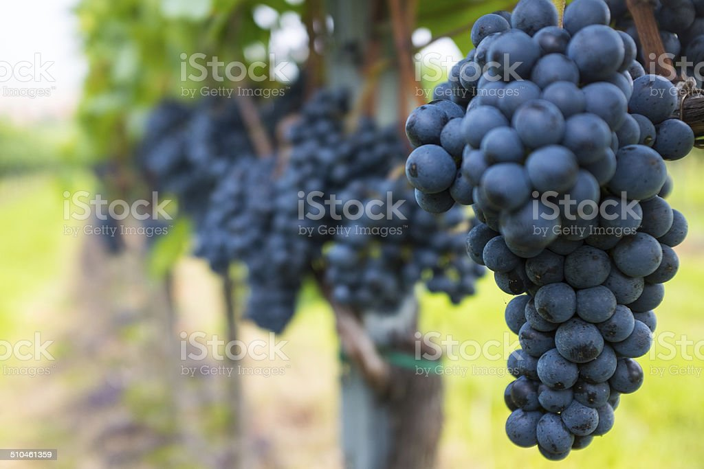 Grapes in Vinevard with selective focus stock photo