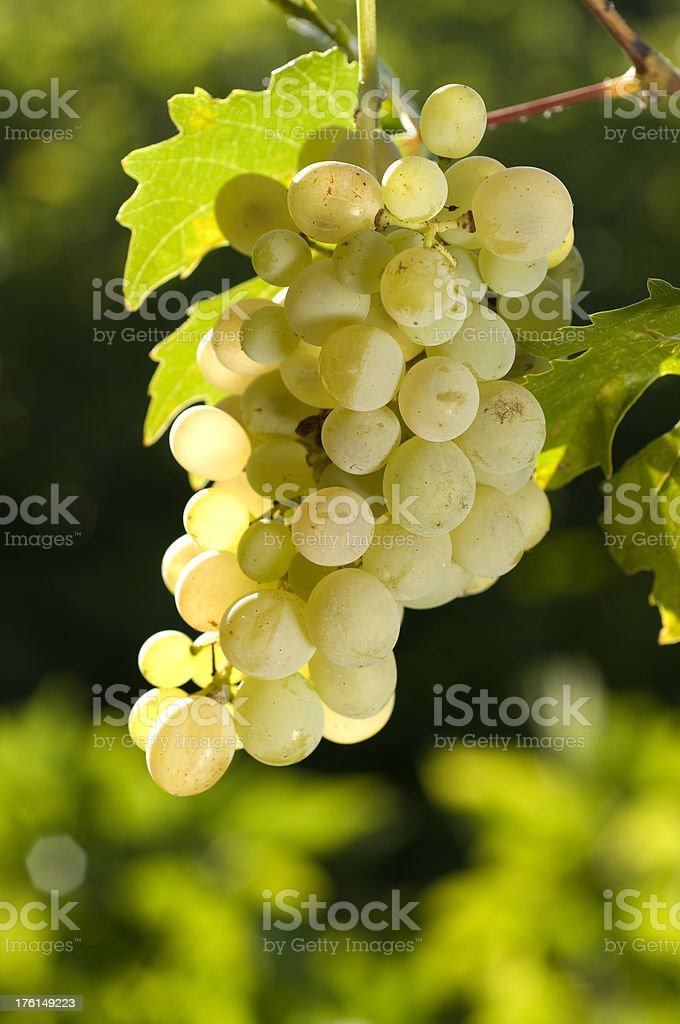 Grapes in vineyard royalty-free stock photo