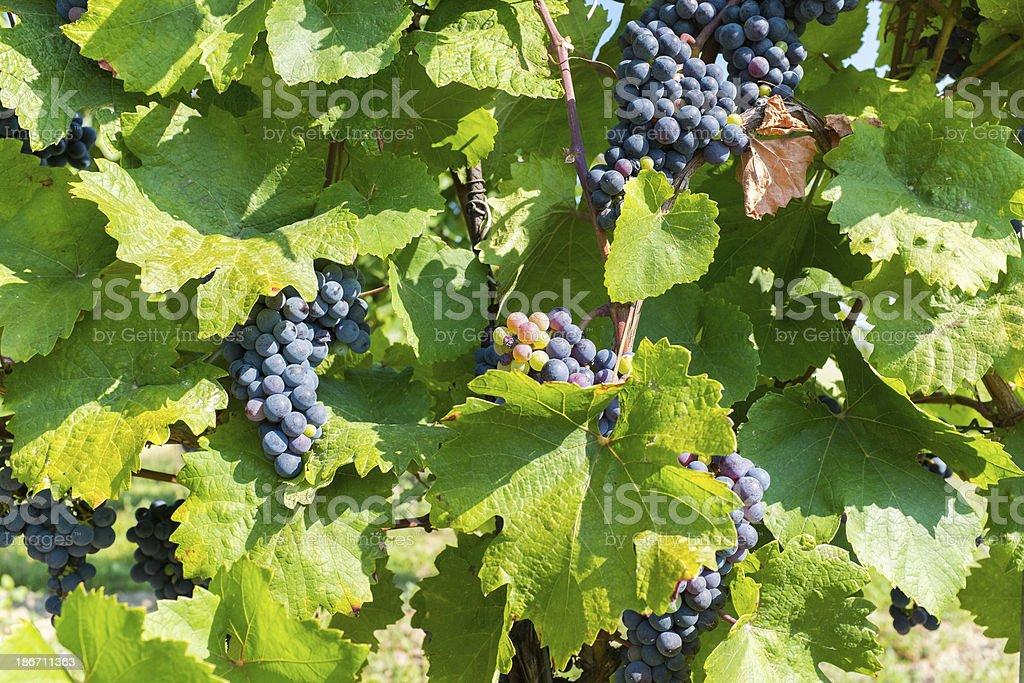 Grapes in vineyard royalty-free stock photo