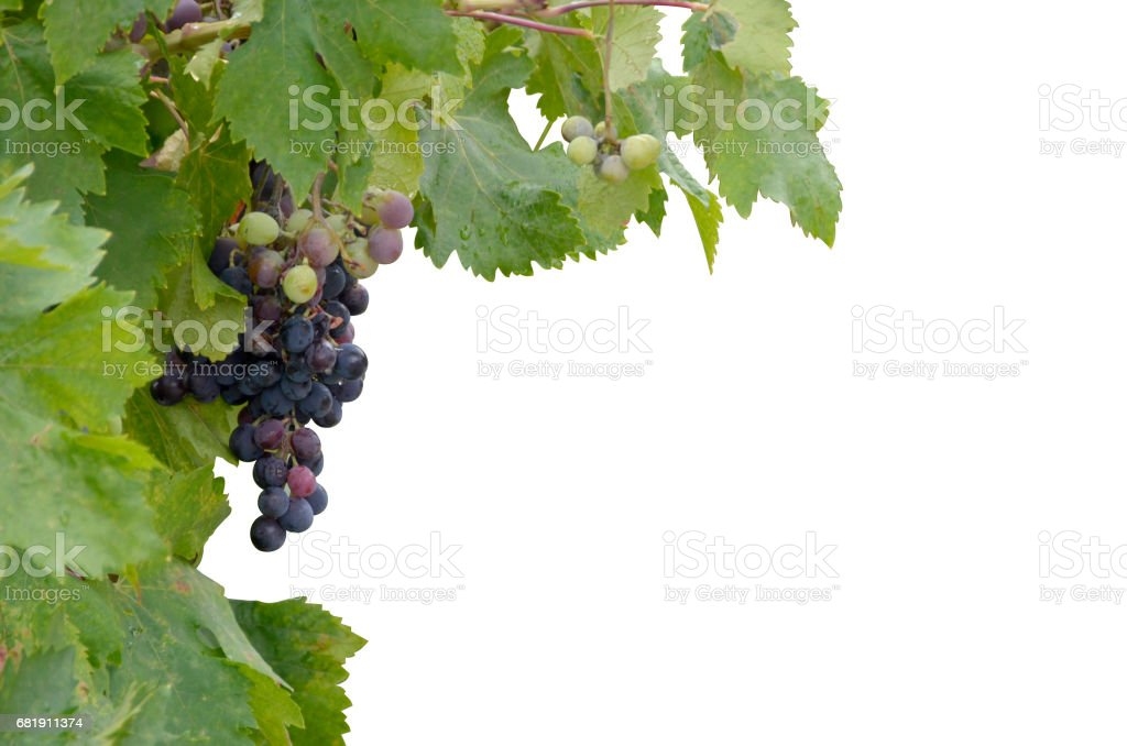 Grapes isolated stock photo