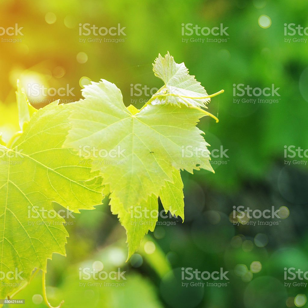 Grapes leaves in a vineyard stock photo