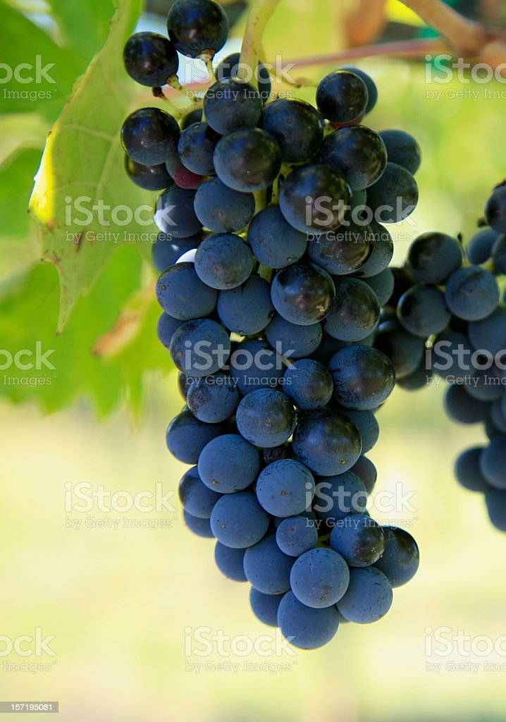 Grapes Of Chianti royalty-free stock photo
