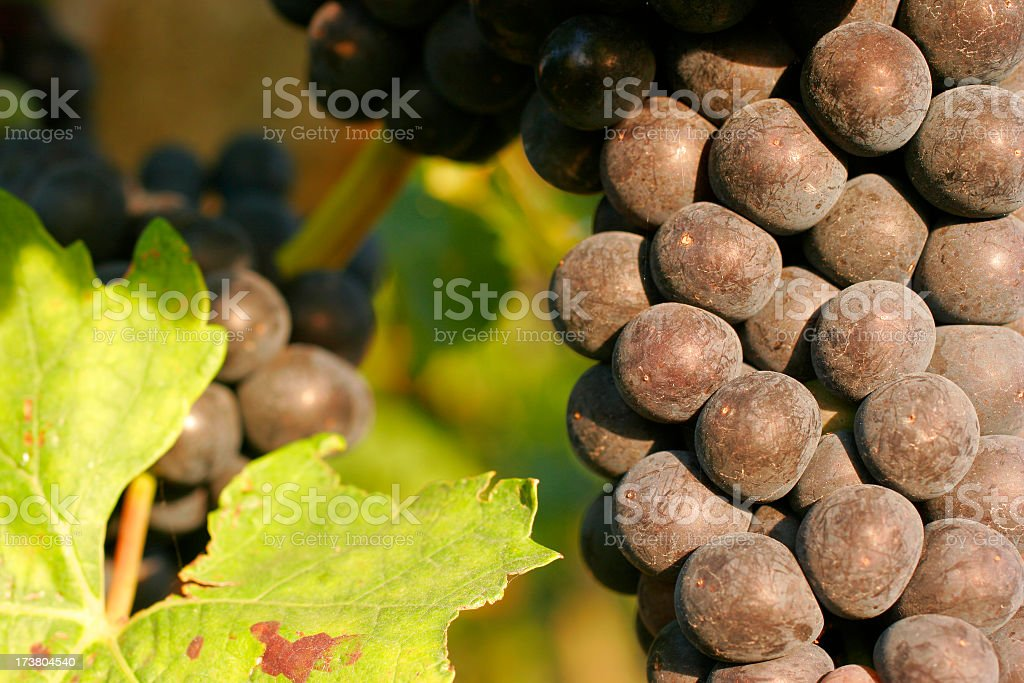 Grapes of Red Wine royalty-free stock photo