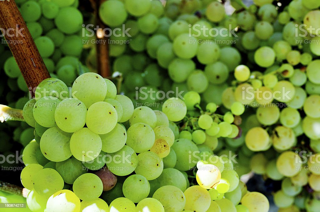 grapes on a vine stock photo