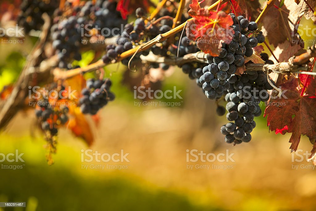 Grapes on a winery vine royalty-free stock photo