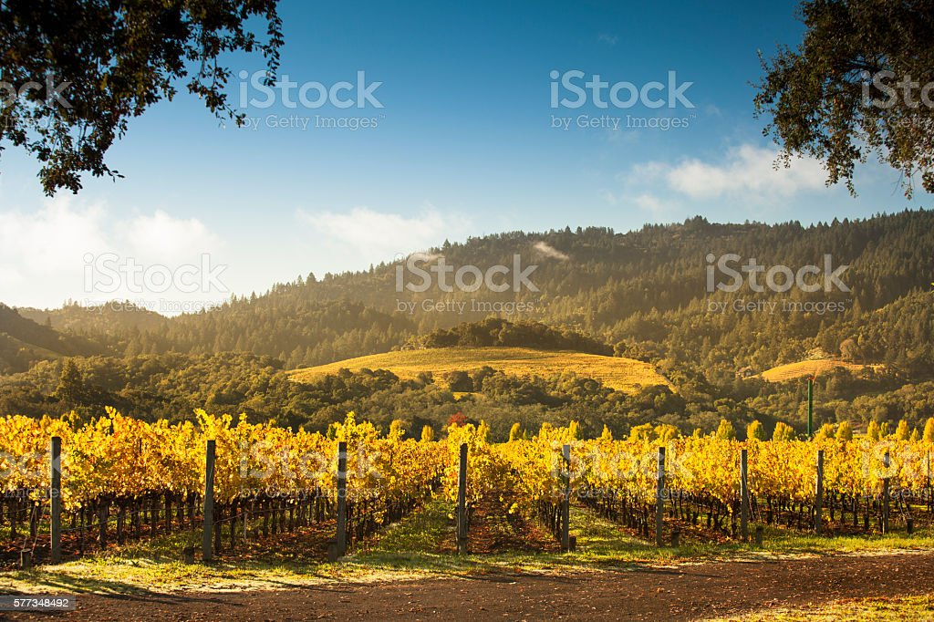 Grapes on a winery vine stock photo