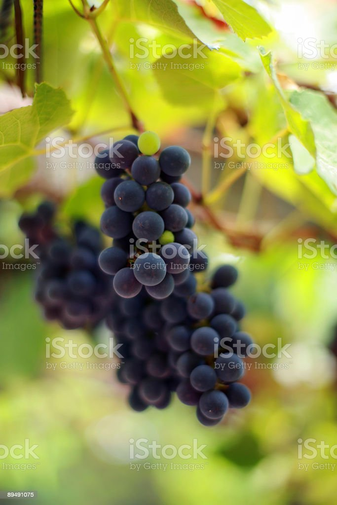 Grapes on grapevine, close-up. royalty-free stock photo