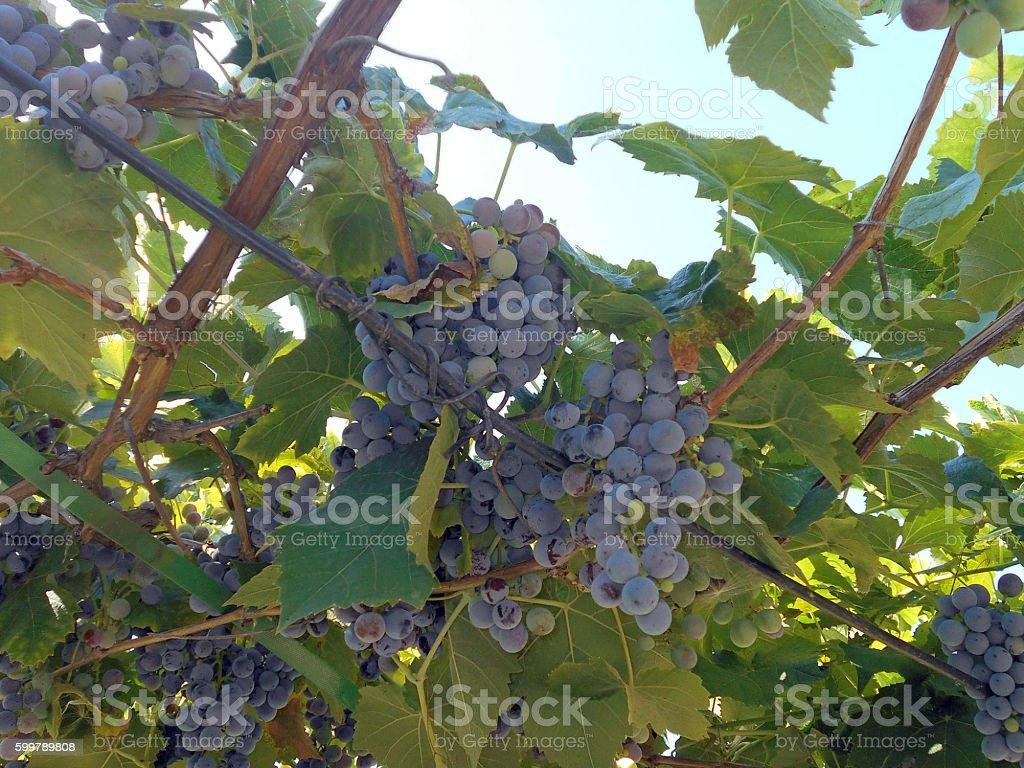 grapes on the pergola stock photo