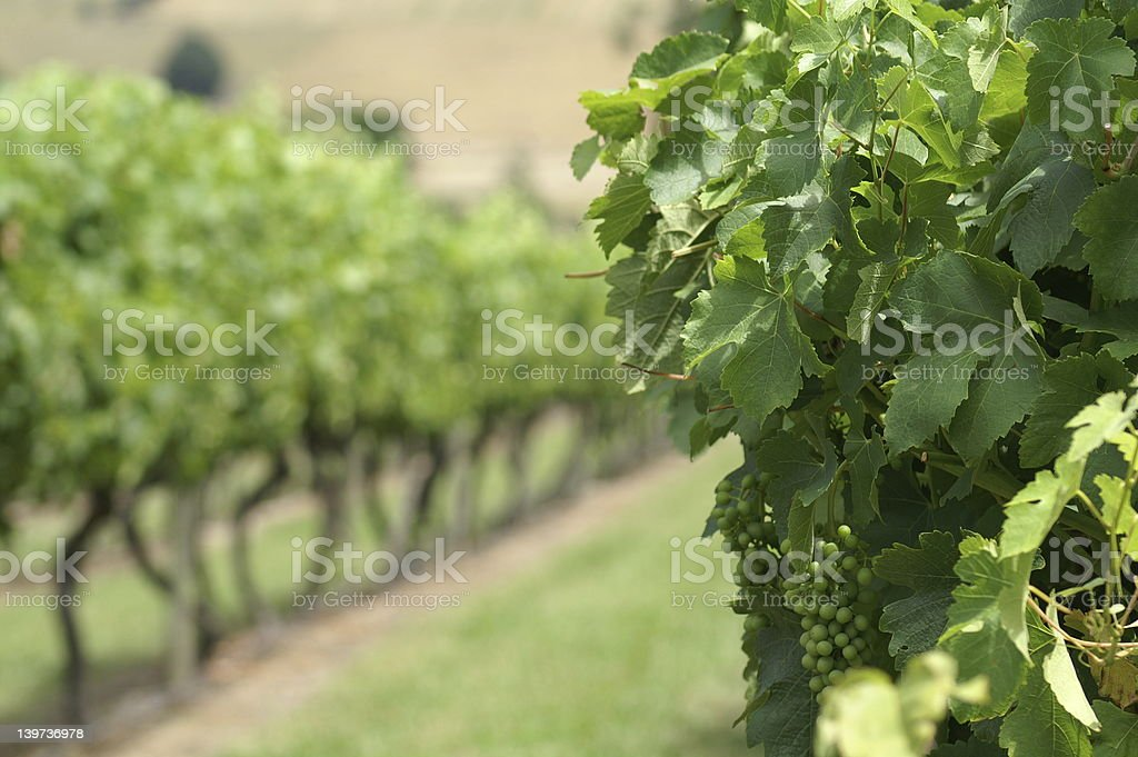 grapes on the vine stock photo